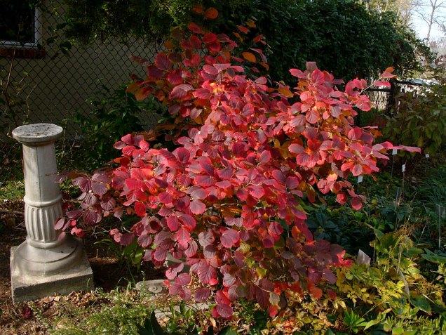 Fothergilla gardenii fall foliage in brilliant shades of crimson and burgundy. Photo © Mary Free, 2014-11-09, Glencarlyn Library Community Garden.