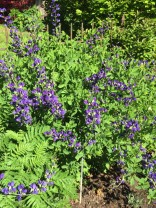 Baptisia australis (Blue Wild Indigo) flowers in May. Photo by Elaine L. Mills, 2017-05-15, Glencarlyn Library Community Garden.
