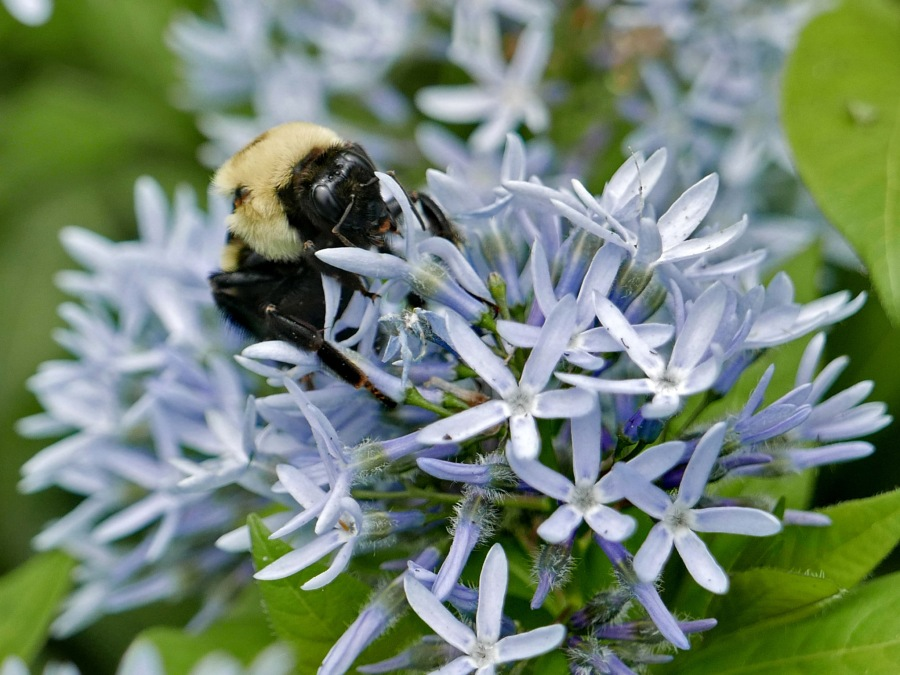 Bombus griseocollis (brown-belted bumble bee) feeding on Amsonia tabernaemontana 'Montana' flowers. Photo © Mary Free, 2019-04-29, Green Spring Gardens, Alexandria, VA.