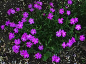 Silene caroliniiana in May. Photo © 2015 Elaine L. Mills