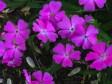 Silene caroliniiana flower detail. Photo © 2015 Elaine L. Mills