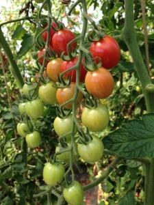 Tomato garden plant