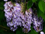 Wisteria frutescens (American Wisteria) lavender flowers. Photo © Mary Free, 2015-05-18, Sunny Garden, Bon Air Park.
