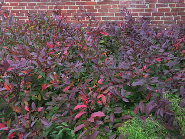 Itea virginica (Virginia Sweetspire) fall color in November. Photo by Elaine L. Mills, 2017-11-06, Fairlington Community Center, Arlington, Virginia.