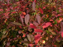 Itea virginica with crimson foliage. Photo © Mary Free, 2014-11-09, Quarry Shade Garden, Bon Air Park.