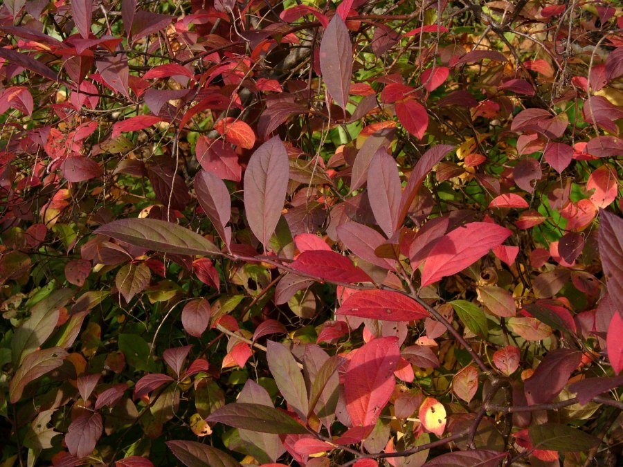 Itea virginica with crimson foliage. Photo © Mary Free, 2014-11-09, Quarry Shade Garden, Bon Air Park.