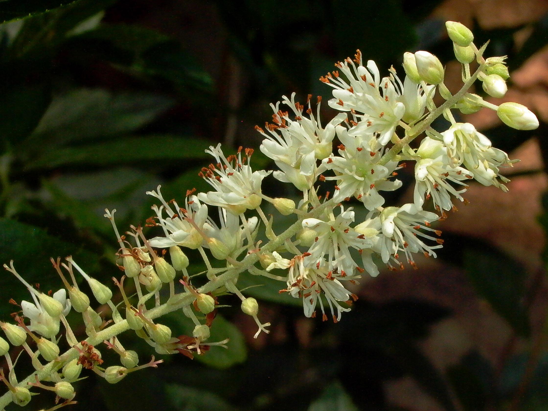 Quarry Shade Garden At Bon Air Park: SHRUB: Clethra Alnifolia (Sweet Pepperbush, Summersweet