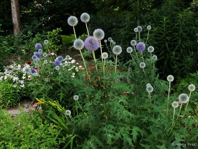 The flowers of Echinops (globe thistle), whether peaking or fading, are a decorative addition to the Sunny Garden. Despite their common name, these natives of Europe, Asia, and the mountains of Africa are not thistles. Photo © 2019 Mary Free.