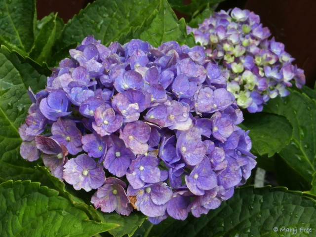 For Hydrangea macrophylla 'Nikko Blue' (bigleaf hydrangea), as for all cultivars except for those with white flowers, the more acidic the soil, the bluer the flowers. Photo © 2019 Mary Free.