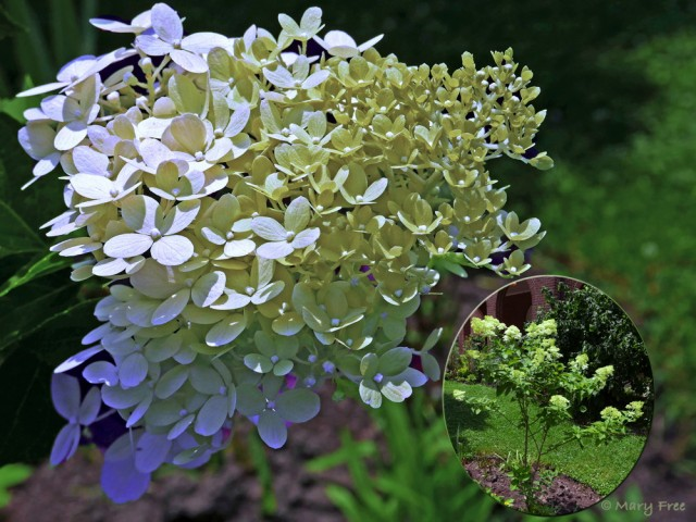 Hydrangea paniculata (panicle hydrangea), a native of China and Japan, is a shrub with multi-season interest. Red fall foliage follows the showy July to September blooms of compact cultivar 'Limelight.' Flowers transition from white to lime to pinkish to beige and remain on the shrub into winter unless cut for fresh or dried bouquets first. Photo © 2019 Mary Free.
