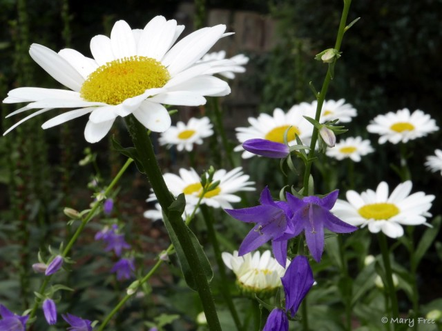 Leucanthemum x superbum (shasta daisy) is a hybrid cross between three European natives and a Japanese field lily. The flowers brighten up the Sunny (above) and Glencarlyn gardens. Deadheading extends the blooming period. Photo © 2019 Mary Free.